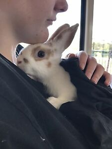3 rabbits For urgent sale Wallan Mitchell Area Preview