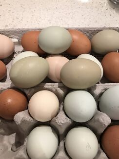 Olive Eggers Rainbow Eggs Chickens and Barnavelders Pullet Trios