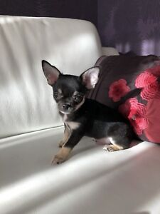 Petit mâle chihuahua enregistré au club canin canadien ckc