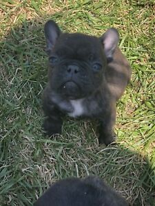 2 male French Bulldog puppies