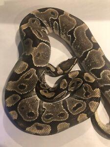 Proven Breeder Enchi Ball Python Female