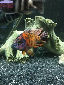 Cichlids for sale