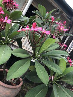 Beautiful bright frangipani trees in pots + one dracaena plant
