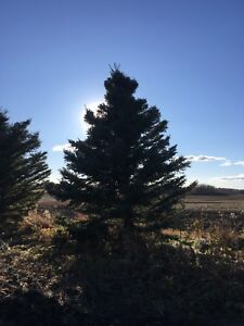 Tall Spruce trees for sale