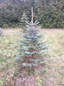 Colorado Blue Spruce Trees  - Delivery and Planting Available