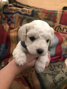 Bichon | Adopt Dogs & Puppies Locally in Winnipeg | Kijiji