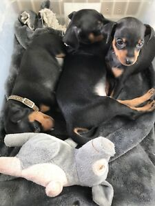 Purebred Miniature Pinscher Puppies