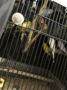 17 budgies with large cage