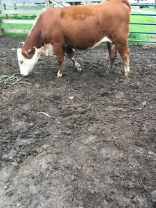 Purebred hereford heifer for sale