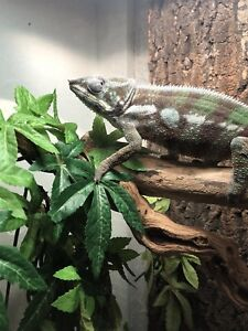 Lost pet chameleon (reward)