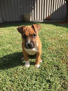 American staffy puppy Narre Warren Casey Area Preview