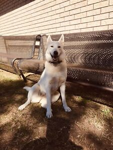 husky in Cairns Region, QLD | Dogs & Puppies | Gumtree