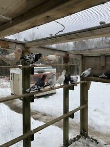 Pigeons for Sale, All Kinds