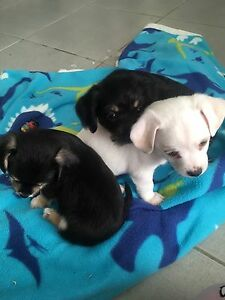 Puppies for sale $500 Surfers Paradise Gold Coast City Preview