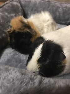 Selling 2 female guinea pigs