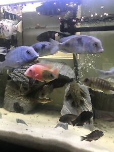African Cichlid Colonies MOVING STATE MONDAY NEED THEM GONE