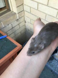 Free male mice