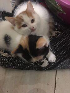 ***2 Fluffy Adorable Kittens For sale!!***