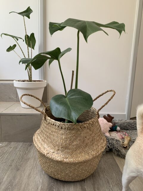 orted indoor plants for sale | Plants | Gumtree Australia Perth City on peppermint tree plant, cycad plant, reed plant, foxfire plant, gazania plant, no light indoor plant, lotus plant, google plant, hickory plant, garland plant, amazon plant, miracle fruit plant, king plant, arcadia plant, violet flower plant, eagle plant, yucca plant, ebay plant, mulberry plant, fig plant,