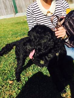 Very cute and energetic Poodle & English Cocker Spaniel dog North Strathfield Canada Bay Area Preview