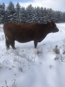 Angus and hereford(must sell)