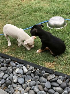 Bull mastiff cross cane corso pups