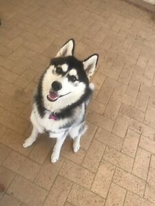 8 month old pure bred Siberian Husky