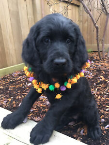 Labradoodle puppies ready now! All treat no trick!