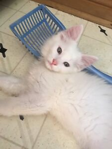 6 white kittens males and females