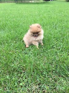Purebred Pomeranian puppies with their first and second shots