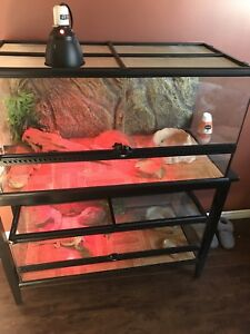 3 bearded dragons in need of homes