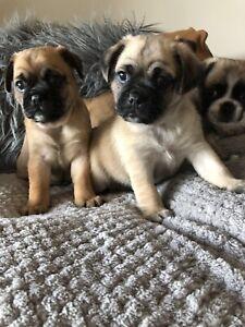 Pug cross Jack Russelll pups
