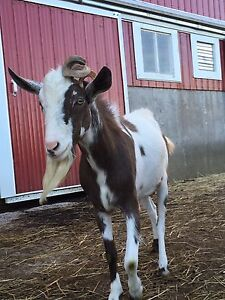 Male Goats For Sale