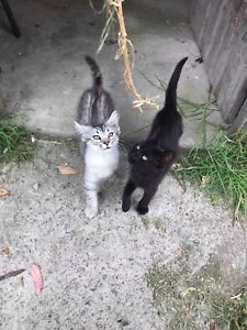 Two beautiful Kittens for Sale - 10 weeks old
