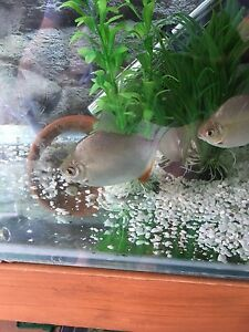 Live fish for sale fish gumtree australia free local for Live fish for sale