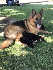 German Shepherd | Adopt Dogs & Puppies Locally in Ontario | Kijiji