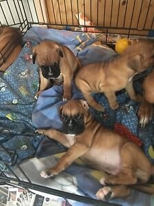 Boxer puppy/chiots  pret/ready to go