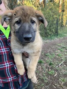 Wanted: Purebred German Shepard puppies