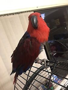 Ecelectus parrot Canterbury Canterbury Area Preview