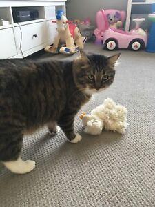 Male neutered indoor cat