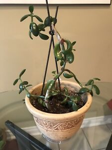 Live jade plant in 8 inch pot