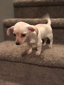 Chorkie and Chiweenie Puppy's For Sale