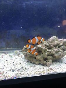 Couple de poissons clown