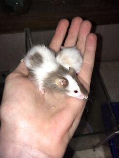 Pet mice for sale!