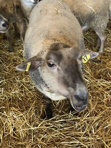 Sheep For Sale | Adopt or Rehome Livestock in Ontario