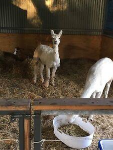 3 Registered Male Alpacas For Sale Parklands Mandurah Area Preview