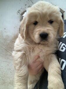 Golden Retriever Dogs & Puppies For Sale | Gumtree Australia