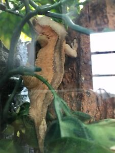 5yr old Male Crested Gecko Needs a New Home