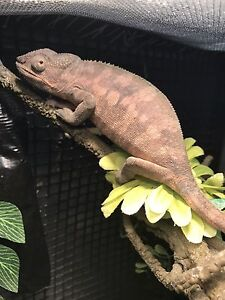 YOUNG FEMALE PANTHER CHAMELEON