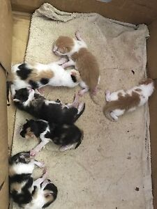 Persian X Kittens For Sale Waterford West Logan Area Preview